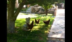 The chickens having fun
