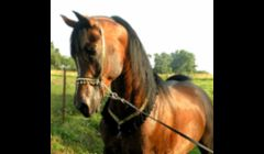 Summerwood Shai 1995 Straight Egyptian Arabian Stallion.